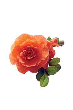 Double Take Orange Storm - The Best Flowering Quince Varieties