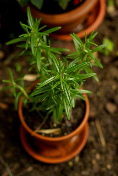 DO YOU KNOW HOT TO GROW ROSEMARY? Learn how to grow rosemary with this step by step article. Popular in many dishes, rosemary also has a variety of uses outside of the kitchen. Herb Garden, Vegetable Garden, Garden Plants, How To Dry Rosemary, Grow Rosemary, Growing Herbs, Growing Vegetables, Mint Plant Care, Container Gardening