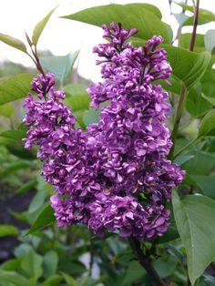 Edelflieder 'Charles Joly' - Syringa vulgaris 'Charles Joly' - Baumschule…