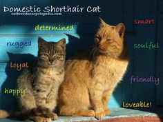 The Domestic Shorthair cat is the most popular pet in the world