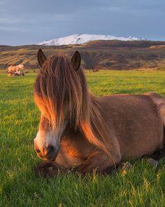 Icelandic Horse, Midnight Sun, Creatures, Horses, Seasons, Amazing, Summer, Photography, Animals