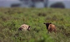 Video shows baby hyena and wildebeest play game of tag in African wild