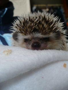 Erizo enojado!  Hedgehog