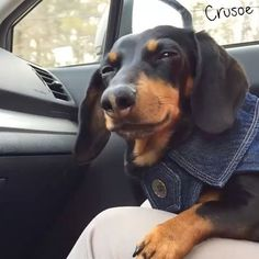 "Crusoe the celebrity #dachshund | ""I'm not falling askeep, I'm just resting my..."