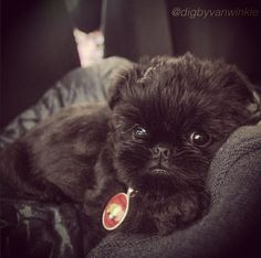 That face!   Meet Alo, The Griffon Pup Out To Steal Your Heart