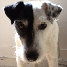 Kim is a lovely parson russell terrier. Is'nt he lovely? I Smile, Make Me Smile, Parson Russell Terrier, Doggies, Friends, Animals, Little Puppies, Amigos, Animales