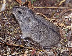 collared lemmings - Google Search Arctic Animals, Animals And Pets, Cute Animals, Arctic Lemming, Rodents, Owl, Creatures, Bird, Google Search