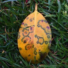#feuille #maladie #champignon #arbre #herbe #nature #lalibela #pleineconscience #méditation #extase #dublin #igersdublin #parc #sickness #leaf #ireland #yellow #grass
