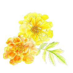 French marigolds orange yellow watercolor art by www.sarahtrett.com