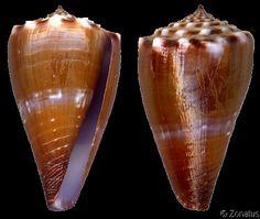 Lividoconus diadema  Sowerby, G.B. I & II, 1834 Diadem Cone Shell size 25 - 60 mm Sea of Cortèz, W Mexico - Panama; Galápagos