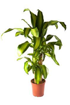 <p>El Palo de Agua o Tronco de Brasil es una planta tropical, de hojas perennes, de uso decorativo tanto para interiores como para exteriores. Esta planta tiene hojas colgantes de un verde brillante y que se caracteriza por una franja amarilla que las surca en el medio. Su tronco es marrón y presenta anillos. Si bien muchas personas</p>