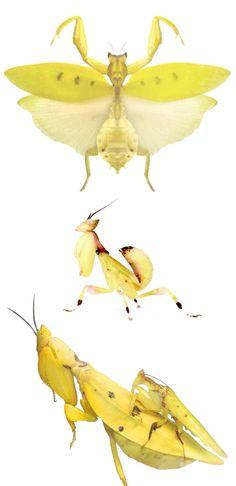 Parymenopus davisoni; nymph and mating couple