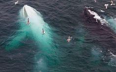 7. Gran ballena jorobada albina.