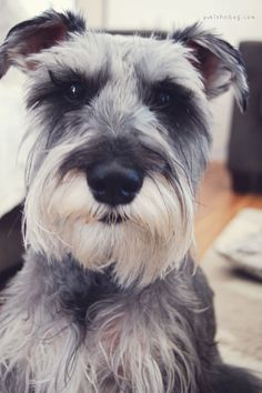 This is Rocket such a sweet and darling mini schnauzer