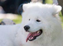 Adorable samoyed puppy Royalty Free Stock Photos