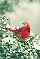 Northern cardinal on cedar   Mother-Daughter Press