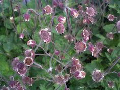 Water Avens Tall delicate bell-shaped flowers held high above soft green foliage. Can be grown in a basket in the pond providing the soil surface is not underwater. Flowers: May/Sep UK Native. Pond Plants, Pond Life, Delicate, Garden, Flowers, Garten, Lawn And Garden, Gardens, Gardening