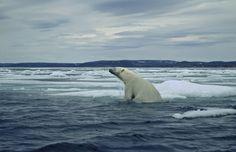 Polar bears are swimming more as sea ice retreats, study indicates