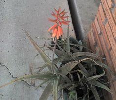 forgotten aloe... blooming...