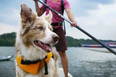 Steps to teach your dog to paddle board. Helpful.