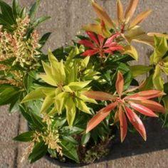 1 Rotsheide (Pieris 'Forest Flame')-directplant