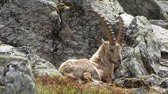 Steenbok gespot bij grand dixence