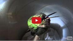 A Hummingbird Snoring = The Cutest Thing EVAR