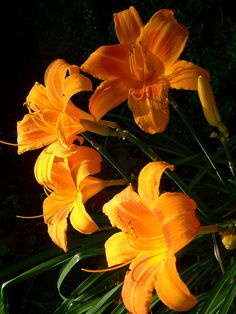 Day lilies, one of my three favorite flowers.
