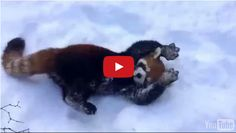 These Red Pandas Playing In The Show Is Beyond Cute