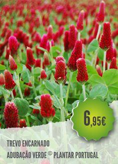 Trifolium Incarnatum - O Trevo Encarnado, Trifolium incarnatum, é uma planta…