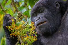 Mountain Gorilla eating berries by Martijn Reijerse on 500px
