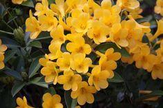 Rhododendron_vireya_gilded_sunrise 2 Natural Phenomena, Pretty Flowers, Shrubs, Sunrise, Nursery, Landscape, Rose, Garden, Nature