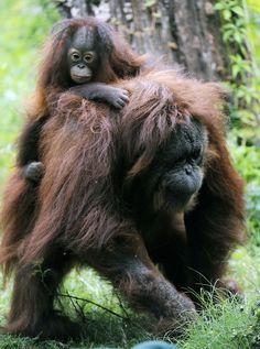 Baby Orangutan Orphan Adopted By Kind-Hearted Momma Orangutan
