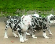 """Receive terrific tips on """"great dane puppies"""". They are readily available for you on our website. Amstaff Terrier, Pitbull Terrier, Bull Terriers, Blue Merle, Chien Dobermann, Blue Blood Bulldog, Dane Puppies, Doggies, Nanny Dog"""