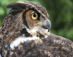 Great Horned Owl Hunting | Better America Blog says the left is calling the right a nation of ...