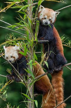 ✮ Red Panda Brothers