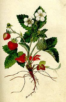 Metsämansikka Strawberry Tattoo, Strawberry Leaves, Botanical Drawings, Botanical Prints, Wild Strawberries, Image Categories, Botany, Framed Art, Scenery