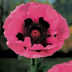 ~~ Raspberry Queen Oriental Poppy ~~