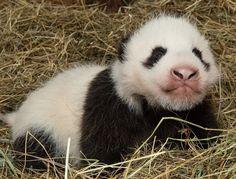 Zoo Vienna's two month old giant panda. #panda #pandas #pandasvienna