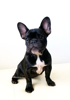 100 Best Wigglebutz French Bulldogs Images In 2019 French