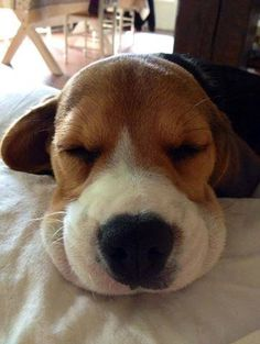 Are you interested in a Beagle? Well, the Beagle is one of the few popular dogs that will adapt much faster to any home. Cute Puppies, Cute Dogs, Dogs And Puppies, Doggies, Hound Puppies, Toy Dogs, Animals And Pets, Cute Animals, Bulldog Breeds
