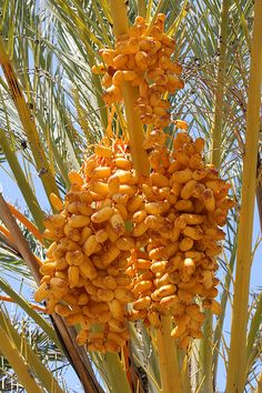 Fruit on a Palm Tree Fruit Plants, Fruit Garden, Fruit Trees, Palm Trees, Fruit And Veg, Fruits And Veggies, Fresh Fruit, Healthy Fruits, Trees And Shrubs