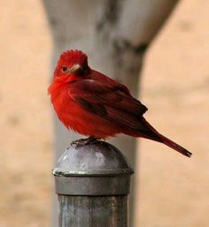 Red bird on the post!