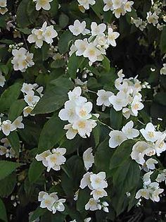 Philadelphus (seringat) - Arrosoirs et Sécateurs