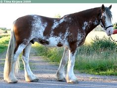 bay sabino - Clydesdale stallion Arclid Scottish Lad