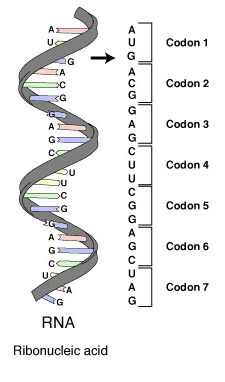 Point mutation - Wikipedia, the free encyclopedia Biology Revision, Study Biology, Biology Lessons, Cell Biology, Ap Biology, Molecular Biology, Teaching Biology, Science Biology, Medical Science