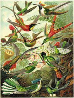 Hummingbirds art antique prints Bird art print by AntiqueWallArt