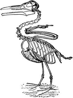 vintage dinosaur bird image ichthyornis