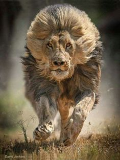 Lion - King of the jungle Fast Crazy Nature Deals. Lion Images, Lion Pictures, Animal Pictures, Galaxy Pictures, Nature Animals, Animals And Pets, Baby Animals, Cute Animals, Fierce Animals