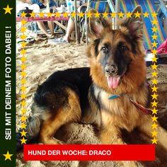 German Shepherd Draco Am Strand mit dir eine Sandburg zu bauen ist das Beste! #Hund: Draco / Rasse: #German Shepherd      Mehr Fotos: https://magazin.dogs-2-love.com/hund-der-woche/german-shepherd-draco/ Foto, Hund, Sonne, spielen, Strand